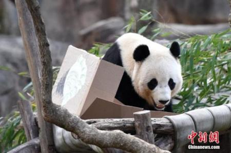 """资料图片:旅美大熊猫""""宝宝"""""""