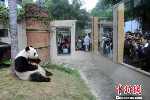 """2010年11月13日,福州熊猫世界、海峡(福州)熊猫世界在福州为闻名海内外的1990年北京亚运会吉祥物""""盼盼""""的原型——大熊猫明星""""巴斯""""举办隆重的30岁(相当于人类一百多岁)生日庆典系列活动,来自海内外三千多名各界人士参加该庆典活动。 刘可耕 摄"""