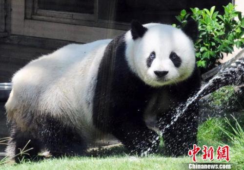 """2011年8月19日,北京亚运会吉祥物""""盼盼""""的原型――大熊猫明星""""巴斯""""在海峡(福州)熊猫世界冲凉躲避高温。 刘可耕 摄"""