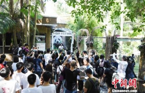 """9月14日,海峡(福州)大熊猫研究交流中心对外公布大熊猫明星——""""巴斯"""",因病于9月13日上午8时50分在福州辞逝,走完传奇一生,享年37岁。 刘可耕 摄"""