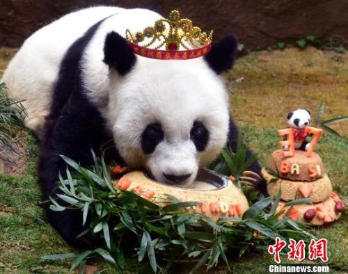 """2017年1月18日,37岁""""巴斯""""获最长寿圈养大熊猫世界纪录并庆生。 张丽君 摄"""
