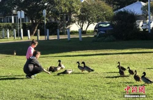 资料图:澳大利亚悉尼,市民在郊外游玩。图为喂野鸭子的孩子们。 <a target='_blank' href='http://www.chinanews.com/'>中新社</a>记者 陶社兰 摄