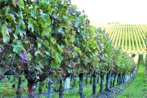 大河酒庄葡萄园。