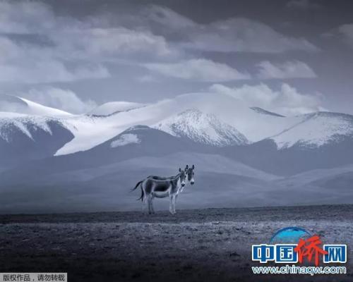 """""""相机摄""""《伴》:雪山之下,一对藏野驴深情依偎在一起。"""