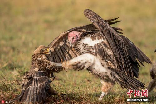 非洲秃鹫与鹰陷入夺食大战