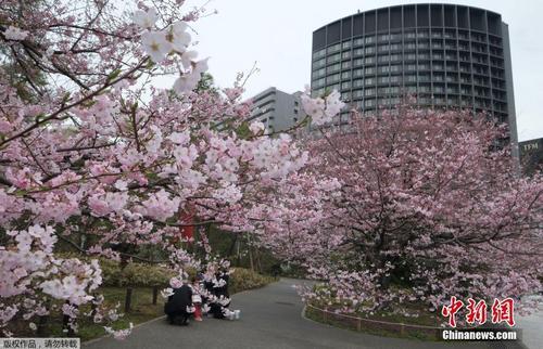 日本东京提前进入樱花季 游人徜徉花海乐享美景