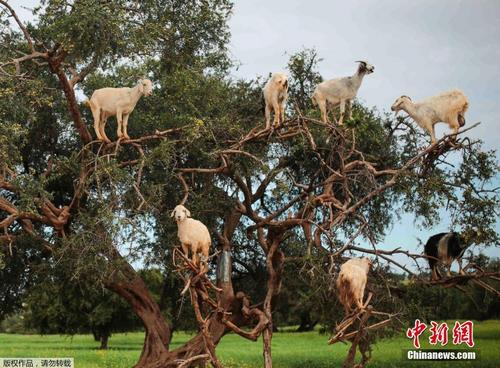 山羊为觅食坚果爬满整棵树 画面逗趣