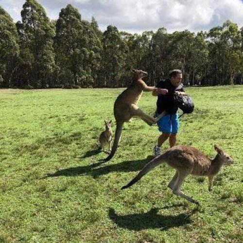 专家认为,当地袋鼠不怕人类,会对游客大打出手。 澳洲广播公司