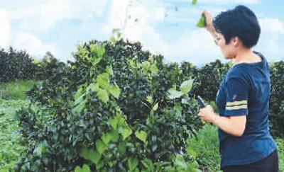 图为邓迪方在果园查看玫瑰柑的生长情况。