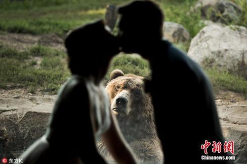 大灰熊乱入情侣婚纱照 演绎羡慕嫉妒恨