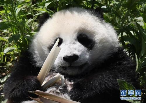 5月16日,熊猫宝宝在中国大熊猫保护研究中心神树坪基地里享受阳光和美食。新华社记者兰红光 摄