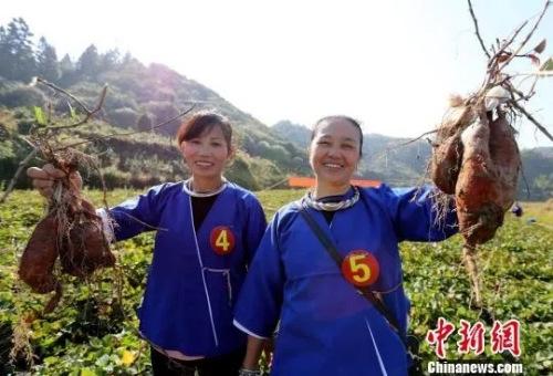 侗族女子展示刚挖的红薯. 吴练勋 摄