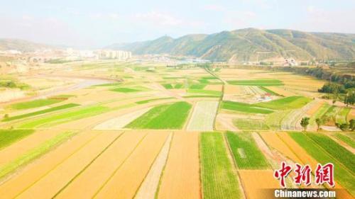 资料图:金色的小麦成熟。 李文 摄