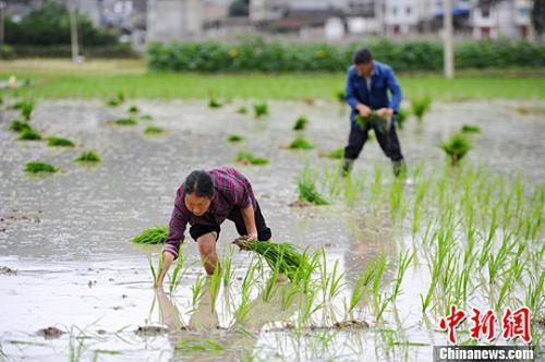资料图:村民在田间插秧。<a target='_blank' href='http://www.chinanews.com/'>中新社</a>记者 贺俊怡 摄