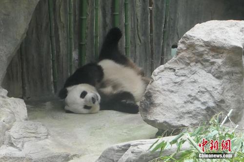 """北京""""二伏""""桑拿天 大熊猫空调房内享清凉"""