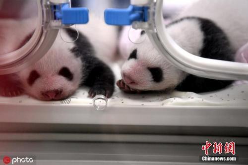 超萌!重庆动物园两对同日出生的双胞胎宝宝满月