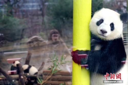 """当地时间1月29日,在德国降生的首对大熊猫——双胞胎""""梦想""""""""梦圆""""与母亲""""梦梦""""在体验动物园为它们改建的大熊猫馆亲子乐园。<a target='_blank' href='http://www.chinanews.com/'>中新社</a>记者 彭大伟 摄"""