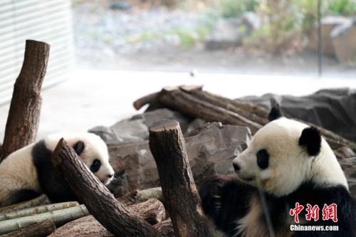 """柏林动物园园长克尼里姆向记者表示,动物园团队对此期待已久,如今柏林动物园正式迎来了""""大熊猫季""""。<a target='_blank' href='http://www.chinanews.com/'>中新社</a>记者 彭大伟 摄"""