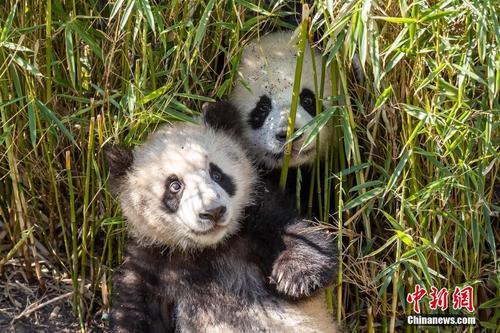 柏林大熊猫双胞胎体重已达22公斤 恢复每日与游客见面