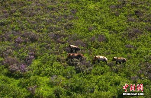 海拔4500米高原上的棕熊妈妈与熊宝宝们