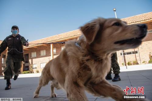 智利警犬特训 可识别感染新冠病毒的人群