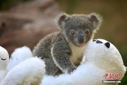 澳大利亚动物园迎来9只新生考拉 小家伙儿萌萌哒