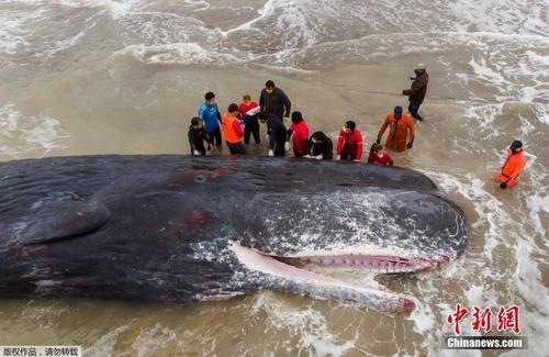 鲸鱼搁浅阿根廷 经过救助不幸死亡