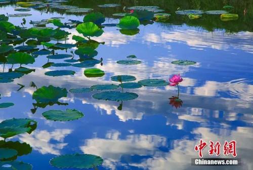 博斯腾湖湖畔的荷香别苑里,近百万株荷花盛开。刘浩 摄
