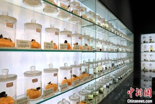 山东邹城蘑菇小镇大束镇展出的各类蘑菇标本。李欣 摄