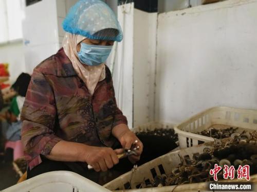菏泽定陶区南城社区村民正在茗嘉兴合作社削蘑菇根。杨飞 摄