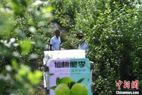 图为乌牛村的果园。 陈超 摄