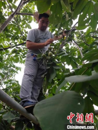 桃农在采摘麻核桃。 于永超 摄