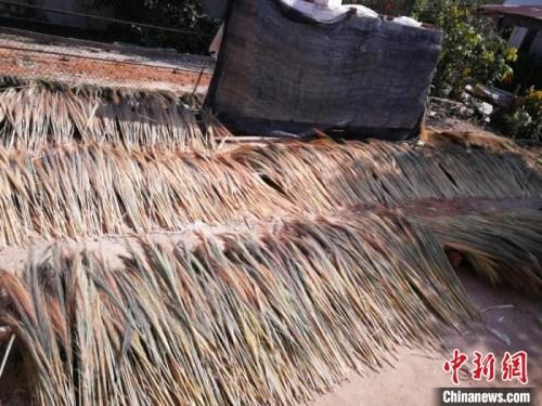 图为允哈村村民晾晒的芒草蕊。昆明海关供图