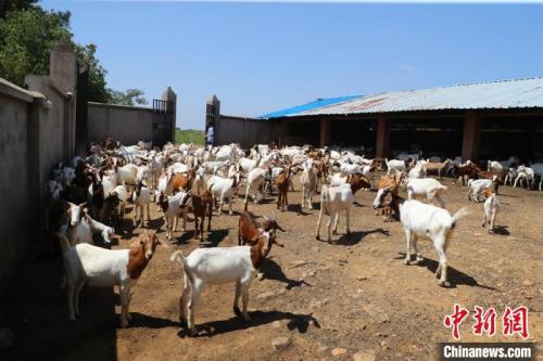 唐根根家的羊舍有近600只羊 张畅 摄