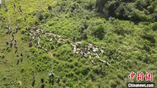 在岗地上吃草的羊群 邹浩 摄