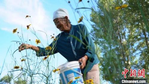 图为76岁的贺月春在采摘雪菊花。 王效平 摄