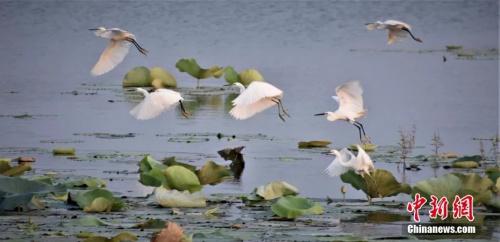 江西鄱阳县荷塘部分荷叶漂浮在水面上,一群群白鹭在荷塘中嬉戏。 蒋冬生 摄