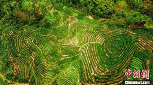 安徽歙县小岫自然村千亩茶树青葱旺盛。李世泽 摄