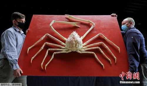 罕见巨型日本蜘蛛蟹将被拍卖