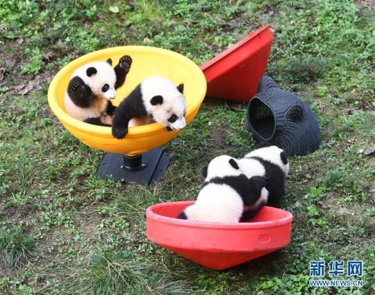 """12月22日,重庆动物园4只半岁大熊猫在玩耍。 当日,重庆动物园为4只大熊猫宝宝""""双双""""""""重重""""""""喜喜""""""""庆庆""""举行半岁生日庆祝活动。4只半岁大熊猫在饲养员的照料下,在熊猫馆运动场内玩耍、嬉戏,与市民游客一同过冬至。 新华社记者 唐奕 摄"""