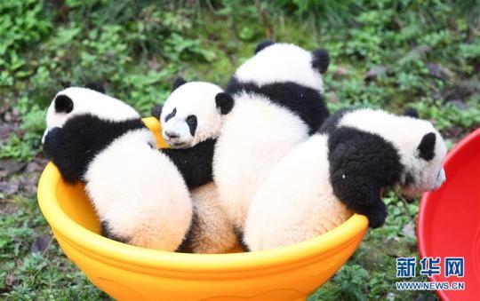 """12月22日,重庆动物园4只半岁大熊猫在户外活动。 当日,重庆动物园为4只大熊猫宝宝""""双双""""""""重重""""""""喜喜""""""""庆庆""""举行半岁生日庆祝活动。4只半岁大熊猫在饲养员的照料下,在熊猫馆运动场内玩耍、嬉戏,与市民游客一同过冬至。 新华社记者 唐奕 摄"""