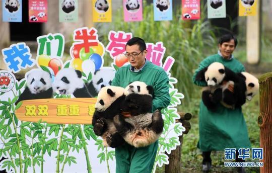 """12月22日,饲养员怀抱大熊猫宝宝到户外运动。 当日,重庆动物园为4只大熊猫宝宝""""双双""""""""重重""""""""喜喜""""""""庆庆""""举行半岁生日庆祝活动。4只半岁大熊猫在饲养员的照料下,在熊猫馆运动场内玩耍、嬉戏,与市民游客一同过冬至。 新华社记者 唐奕 摄"""