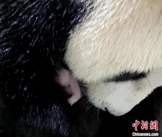 """赠台大熊猫""""圆圆""""在台北动物园顺利产仔(图)"""