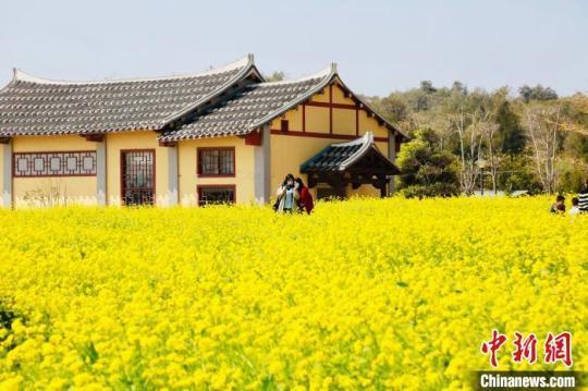 湄洲岛上油菜花盛开。 林春盛 摄