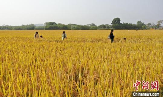良渚古城遗址千亩水稻成熟 金黄稻浪分外壮美