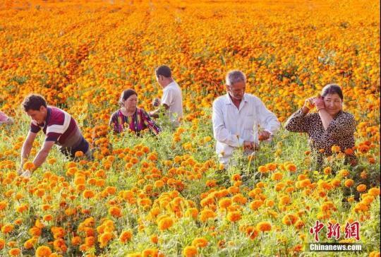 """图为新疆莎车县的民众正在采摘被他们誉为""""致富花""""的万寿菊。钟欣 摄"""