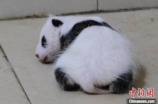"""中国大熊猫保护研究中心航天熊猫宝宝正式取名""""航宝"""""""