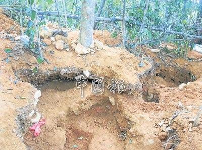 挖石者在树木周边挖掘破坏了树根,树木随时倒下.(马来西亚《中国报》)