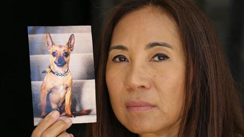 中国侨网林姓华裔妇女和为救她献出生命的吉娃娃宠物狗。(澳大利亚《星岛日报》资料图)