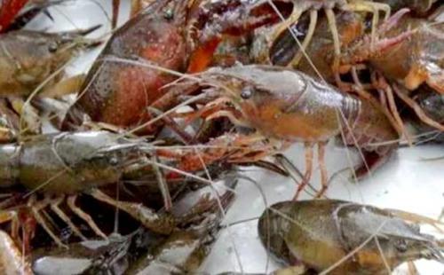 意大利严控非法入侵物种华人最爱小龙虾上黑名单